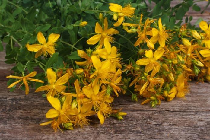 świeży dziurawiec, żółte kwiaty