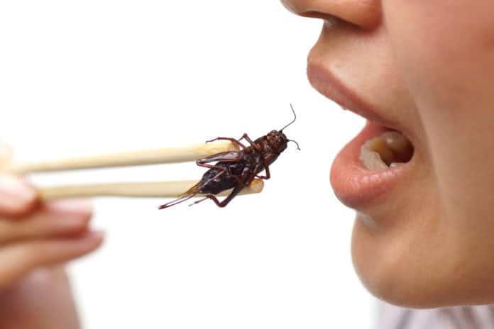 jedzenie insektów, pałeczki