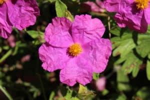 czystek, różowy kwiat