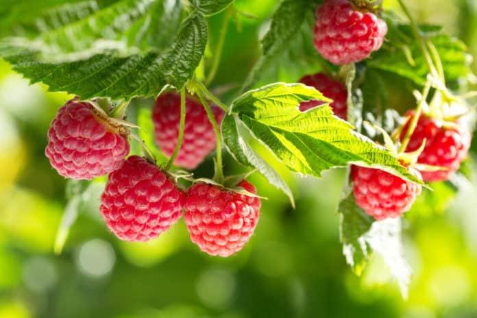 owoce malin na krzaku