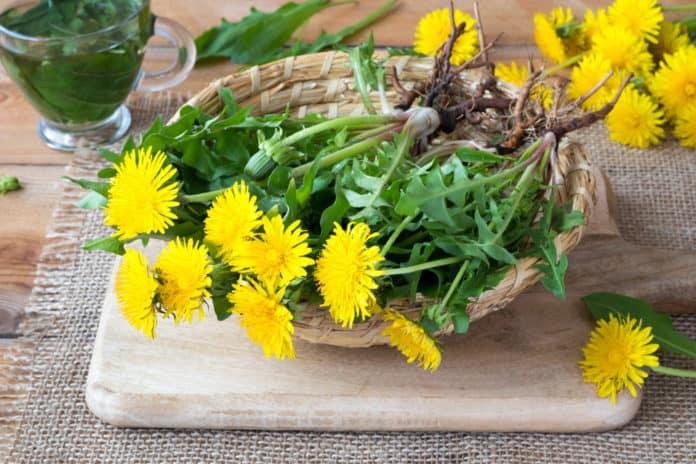 mniszek lekarski - roślina z korzeniami