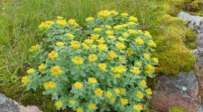 różeniec, krzew, żółte kwiaty