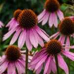 jeżówka, kwiaty