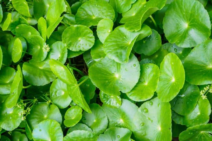 Centella asiatica zielone liście