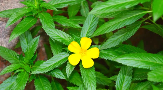 liść damiana, żółty kwiat