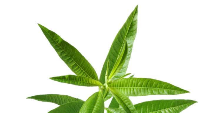 liście werbeny cytrynowej